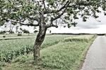 Mohnfeld im Waldviertel